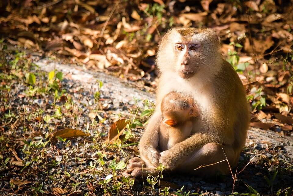 Pig tailed macaque feeding baby in grass