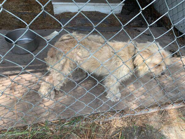 Winnie in pen before being rescued by PETA