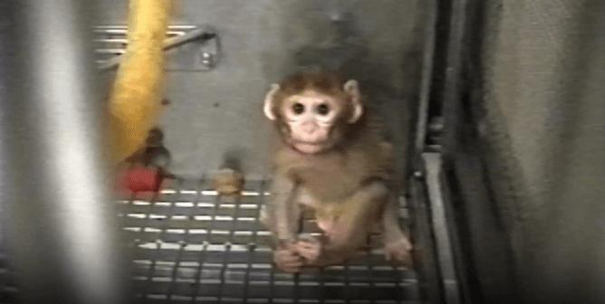 PETA Shows Public What University of Washington Won't: Baby Monkeys