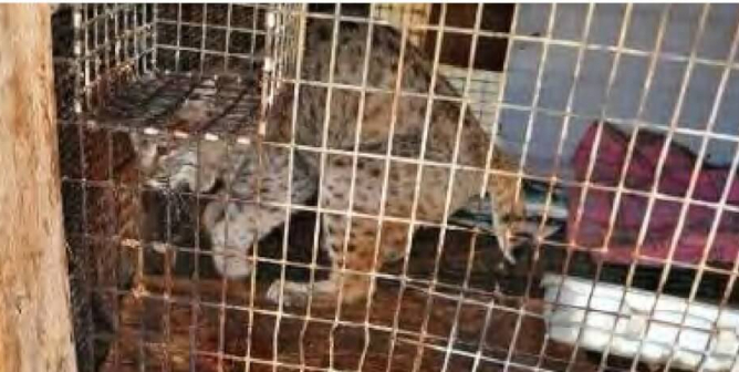 PETA Joins Groups Petitioning to Close Loophole Allowing Canada Lynxes to Be Exploited