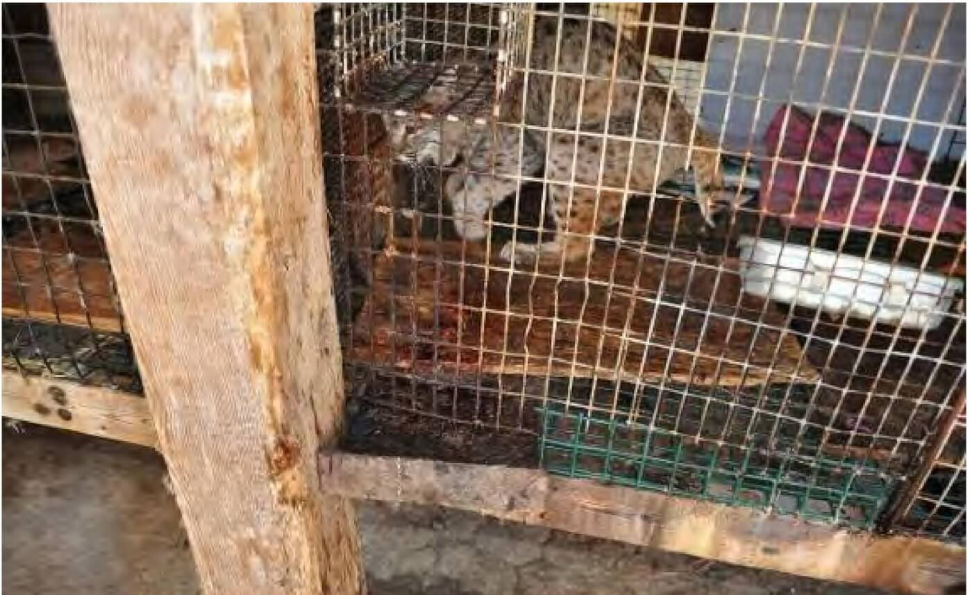captive canada lynx in cage
