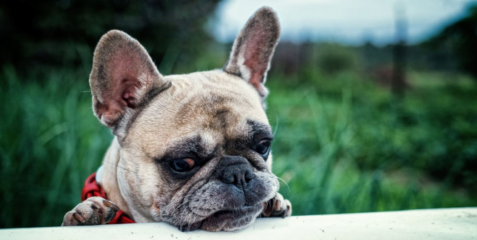 Are French Bulldogs Good 'Pets'? PETA Explains Why You Should Never Buy One