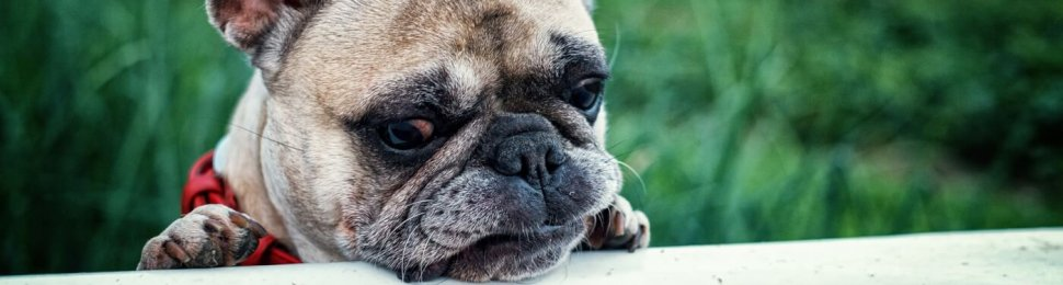 French Bulldog for Sale? Why You Should Never Buy One