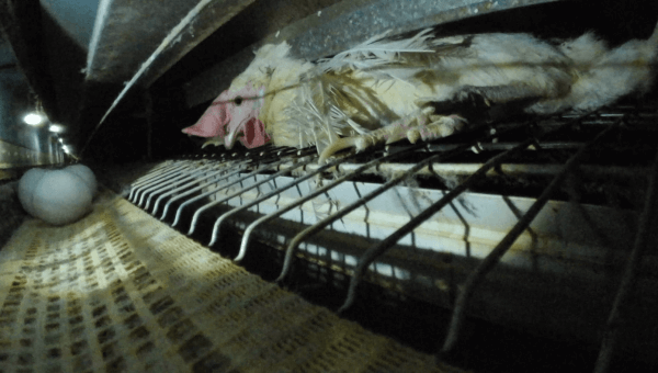 PETA Asia Exposes Olympic-Size Cruelty: Japan's Eggs From Hen Hell
