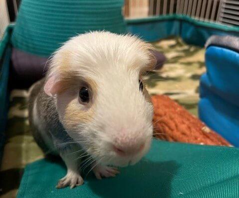 cute guinea pig rescued by PETA