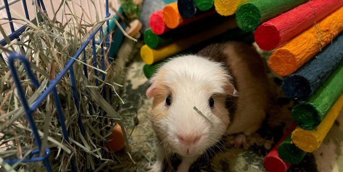 What's Up, Jax? Rescued Guinea Pig Loves Carrots More Than Bugs Bunny Does