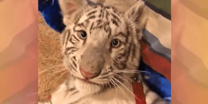 Animal Exhibitor Electroshocks Young Tiger on Camera; Feds Let It Slide (Video)