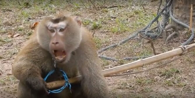 Odd the Monkey Rescued From Abusive Thai Coconut Industry