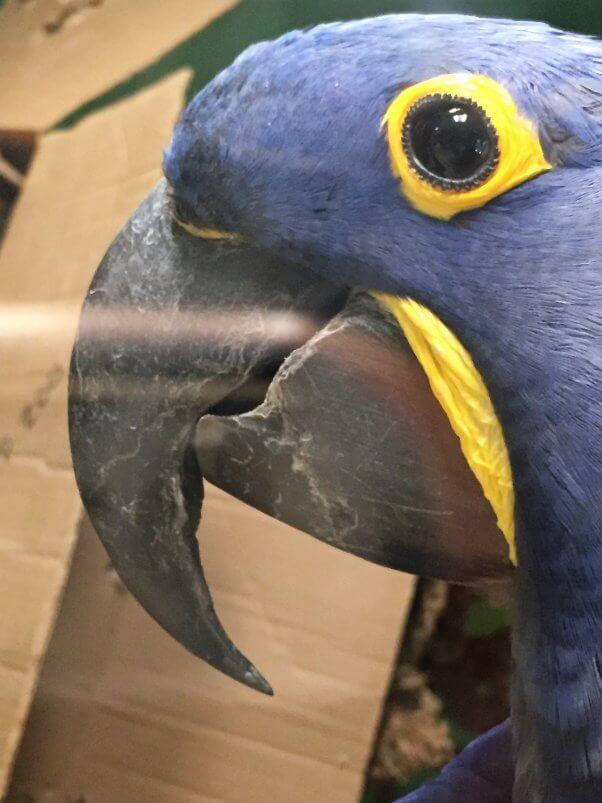 roadside zoo fires: hyacinth macaws at Plumpton Park Zoo