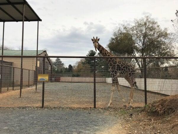 Waffles the giraffe at Roer's Zoofari, before the fire