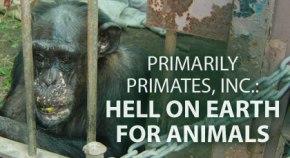 420-chimpanzees.jpg