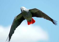 African_Grey_Parrot.jpg