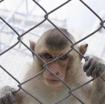Caged Monkey.jpg