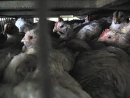 Chickens_in_Georges_slaughterhouse.jpg