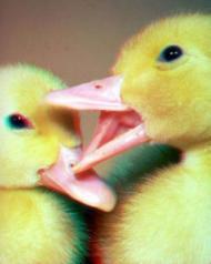 Ducklings.jpg