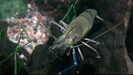 live prawn