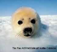 Harp Seal.jpg