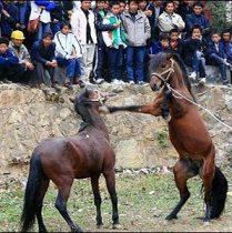 Horse_fighting_2.jpg