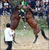 Horse_fighting_3.jpg