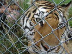 LSU_Tiger_Campaign.jpg