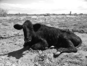 Downed Cow
