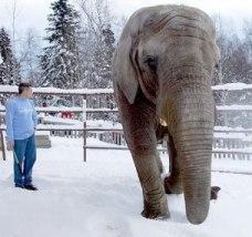 Maggie_the_elephant_Alaska_Zoo.jpg