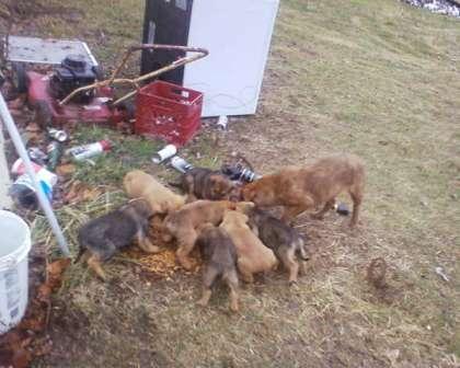 Kentucky Dogs
