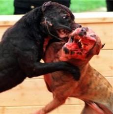 Pitbull_fight.jpg