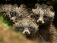 Raccoon Dog Pups