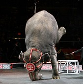 Elephants don't do headstands in the wild.