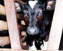 Veal_cow.jpg