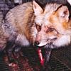 Caged Fox