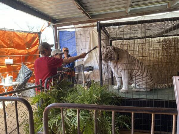 All Things Wild exhibit with tigers