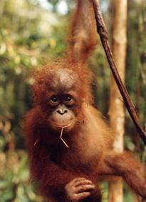 baby_orangutan.jpg