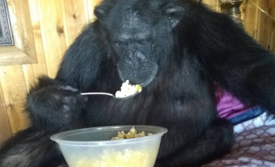 Authorities Shoot and Kill 'Pet' Chimpanzee After Owner's Daughter Is Attacked
