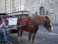 Carriage horse in NYC