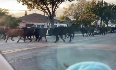 40 Cows Escape From Slaughterhouse, Proving No One Wants to Die for Food