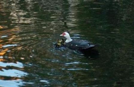 Duckling Rescue
