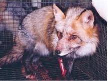 fox fur.JPG