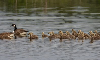 Honk if You Love Geese! 8 Facts That Will Make You Ditch Down