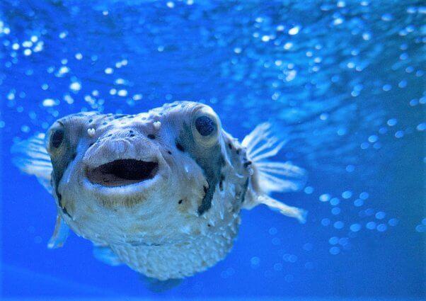 Happy blowfish swims in ocean
