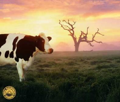 CA Happy Cow