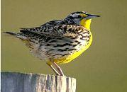 Kansas State Bird
