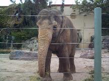 Captive elephant