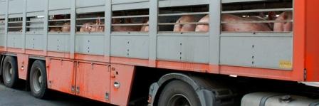 pig in transit