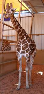 Michael Jackson's giraffe, Princess