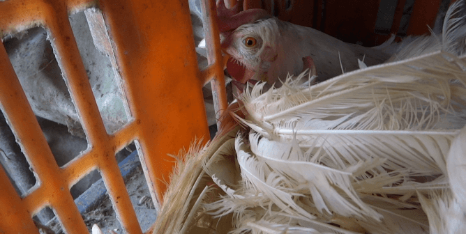 PETA Asia Exposé: Chickens Stuffed Into Plastic Bags, Left to Suffocate for Mayo