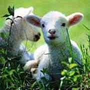 sheep-hotlinks.jpg