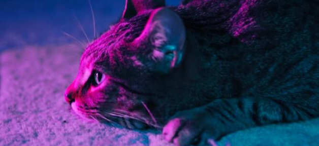 Tabby cat bathed in purple light