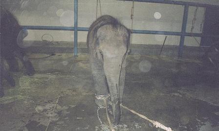 tethered baby elephant